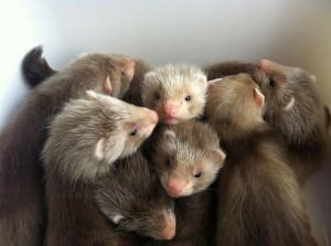 angora ferret babies