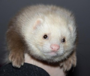 semi angora ferret kit