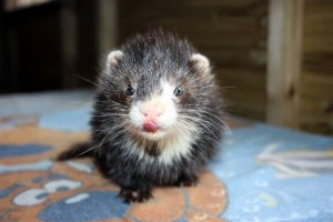 Milk mouth angora ferret