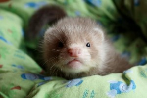 chocolate angora ferret