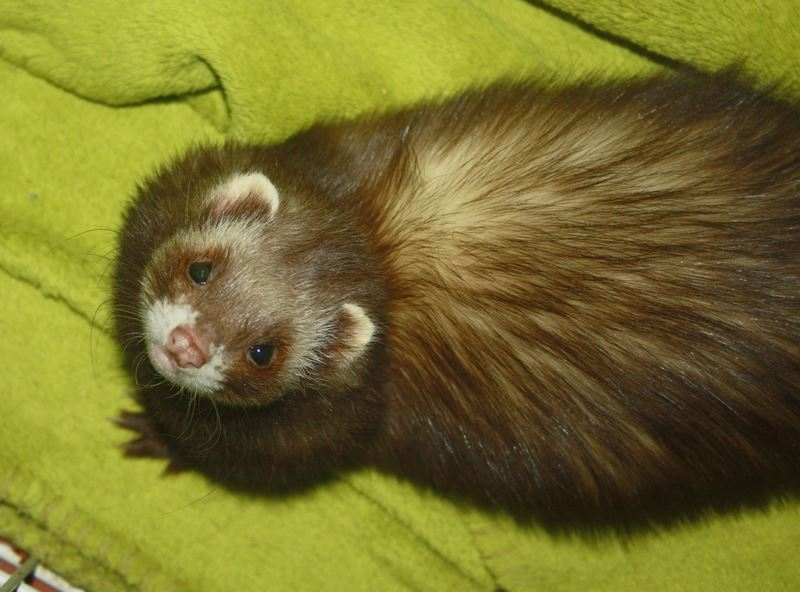 How to Breed a Pet Ferret