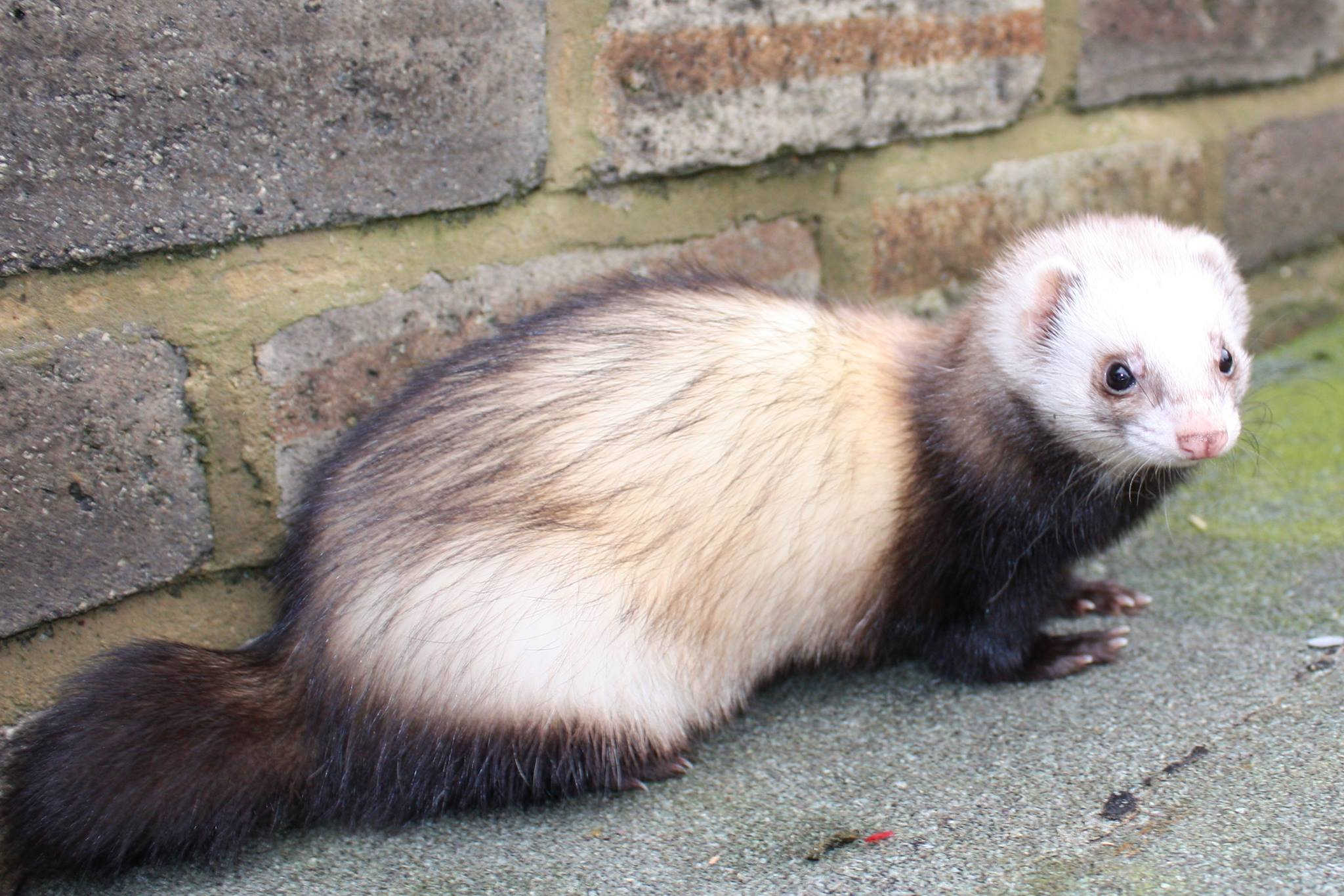 Ferret Colour Chart